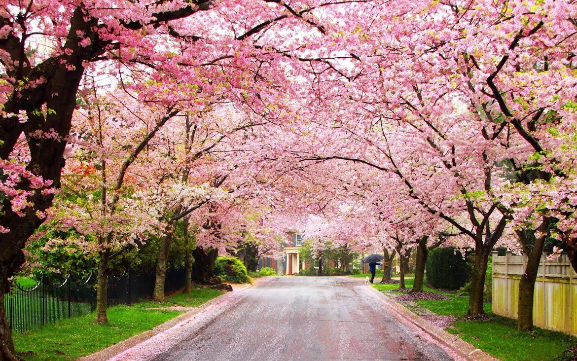 Spring is Here: Top 10 Flowering Trees