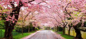 Spring is Here: Top 10 Flowering Trees