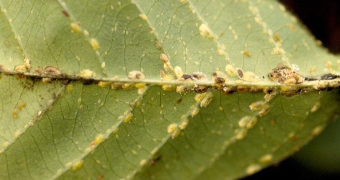 Tree Care: Soft Scale Insects